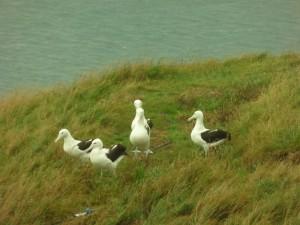 Albatros_p1060225